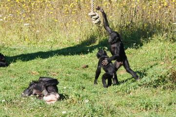 Bonobo jouant avec une corde