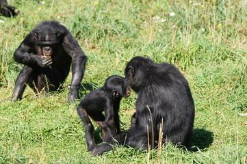 Bébé Bonobo au milieu du groupe