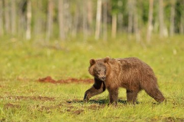 Brown bear walking in the bog at summer