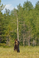 Brown bear standing against a tree in the bog