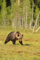 Brown bear cub walking in the bog with forest background