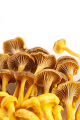 Yellow foot mushrooms with copyspace , vertical