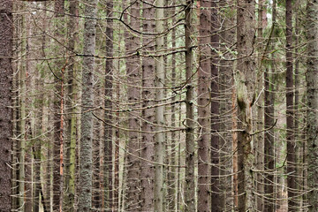 Spruce forest background with dry trunks