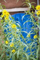 Sunflowers in Santa Fe