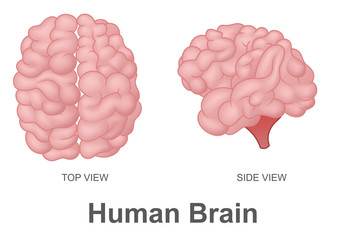 Human Brain in Top View and Side View