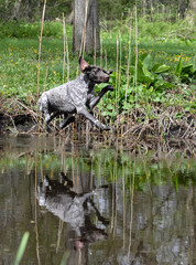 dog jumping in river