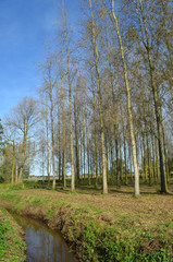 small group of birch trees