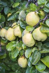 Unpicked quinces in the fruit garden