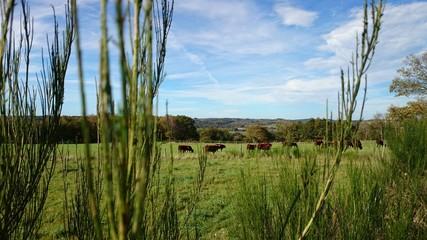 Vaches salers a la campagne