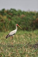 Nimmersatt (Mycteria ibis) am Flußufer des Okavango, Botswana