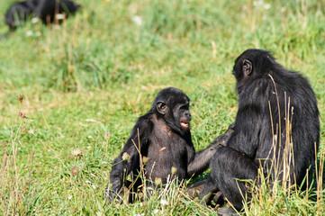 Jeune Bonobo jouant avec un adulte