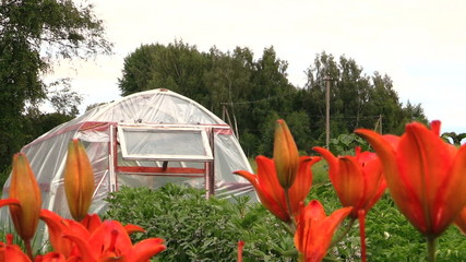 bright orange lilies in garden and greenhouse in summer.