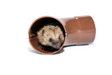 Small forest hedgehog, gets out of the drainpipe isolated poster