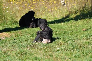 Chef et doyenne du groupe de Bonobo