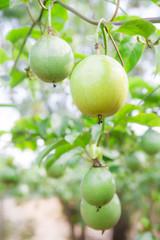 Passion fruit (passiflora edulis )