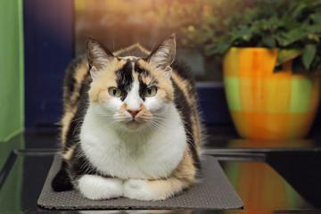 chat arlequin dans cuisine