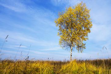 yellow birch on blue sky background