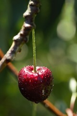 A red cherry by daylight