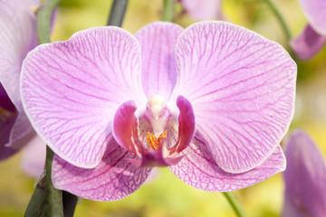 Image of beautiful purple orchid - phalaenopsis