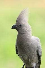 uccello turaco del sudafrica