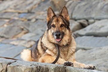 German Shepherd Dog sat looking at camera