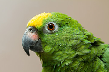 Head of Amazon green parrot