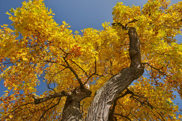 treetop of a maple tree in fall