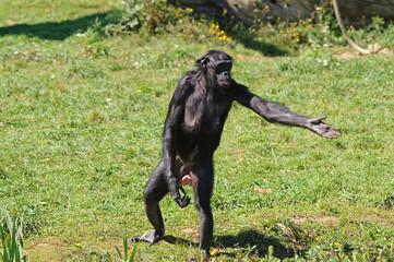 Bonobo demandant à manger