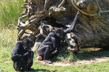 groupe de Bonobo attendant le repas