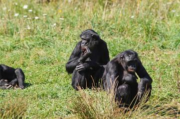 groupe de Bonobo dans leur habitat naturel