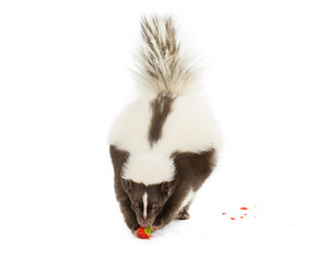 Picture of a Skunk eating a strawberry