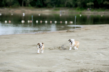little bulldogs play on the sands