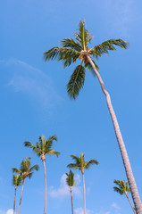 Tall coconut palm tree