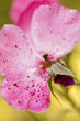 canvas print picture - Petali di rosa