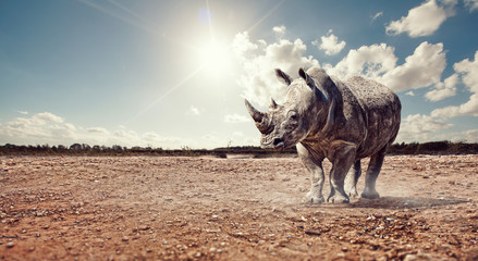 rhino in sun