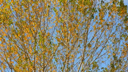 autumn treetop with yellow leaves moving in wind