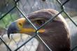 canvas print picture - Adler in Gefangenschaft 1