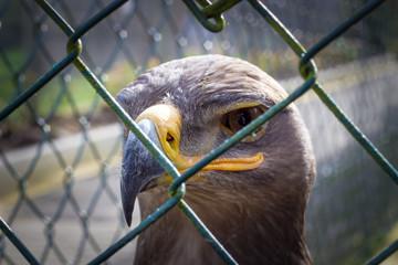 Adler in Gefangenschaft 3
