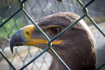 Adler in Gefangenschaft 1