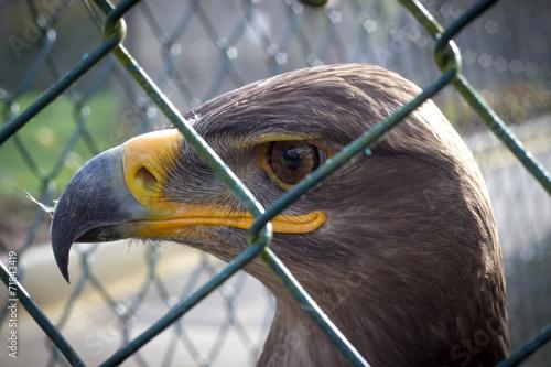 canvas print picture Adler in Gefangenschaft 1