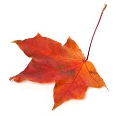 Red autumn maple leaf