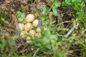 Nest of the Lyrurus tetrix, Black Grouse.