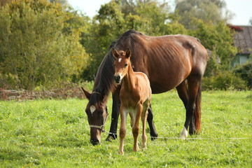 Young foal and his mother at the pasture