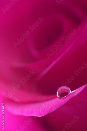 drop on a beautiful pink rose © Froggy