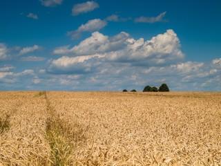 Getreidefeld unter weiß-blauem Himmel
