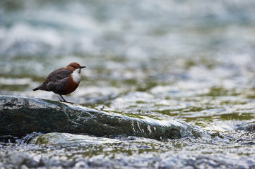 European dipper resting on a rock