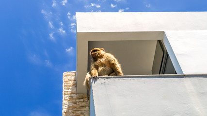 view of monkey on the top of the building on the mountain, gibra