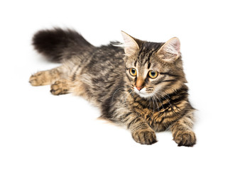 Cute kitten with isolated on white