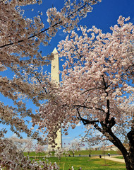 Cherry Blossom Trees and Washington Monument.