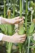 トウモロコシの収穫
